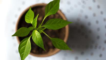 Young paprika plant