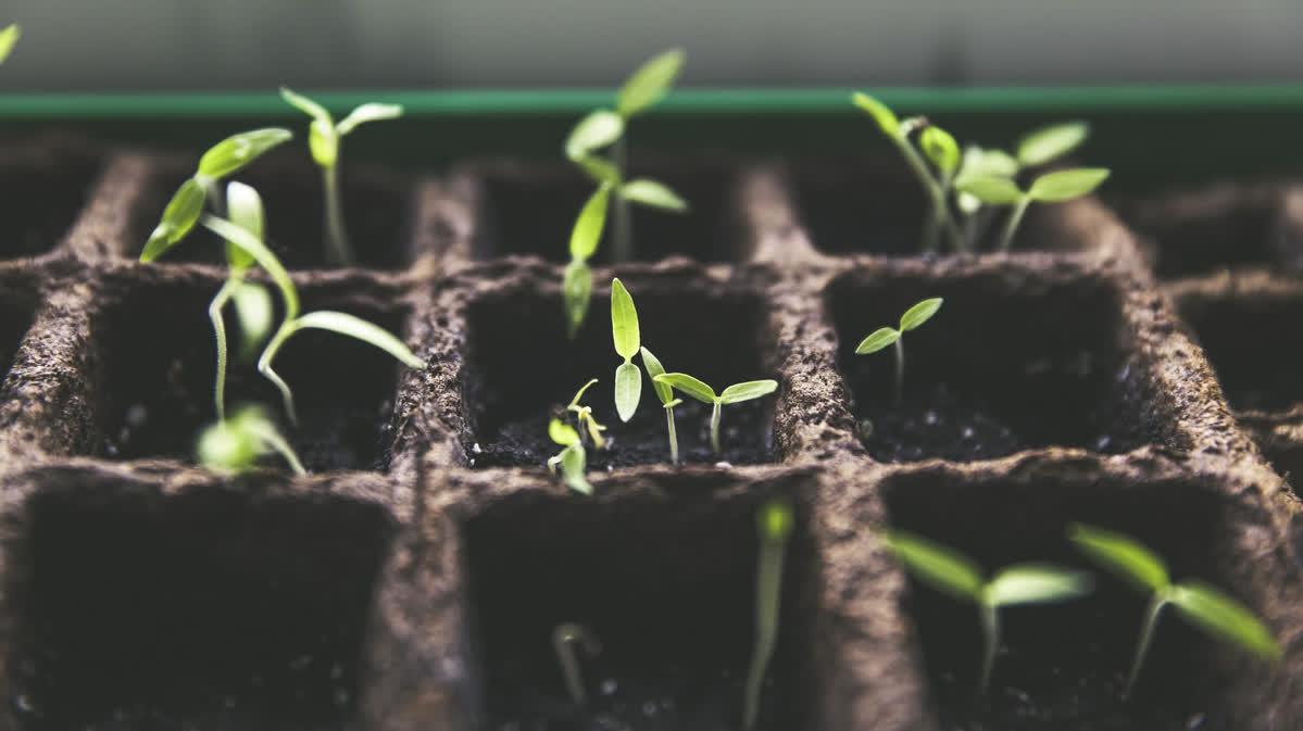 Planting Chili Seeds