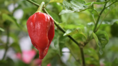 Habanero plant