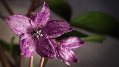 Rocoto blossom