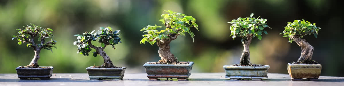 Growing Chili Bonsai Plants Chili Plant Com